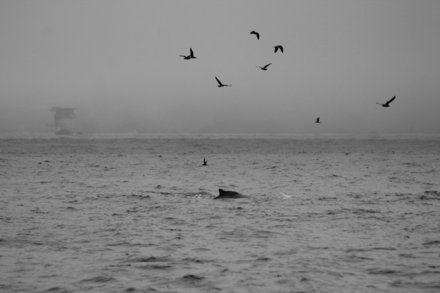 A humpback whale near Mile Rock Lighthouse (visible on the left) in the Golden Gate straits. Sept. 26, 2015