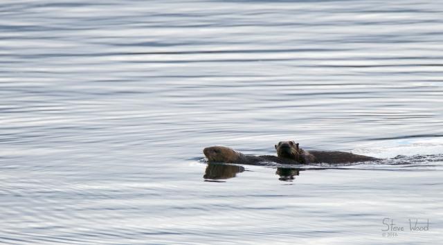 2016.08.04.BayOfPillarsAK.Otters1